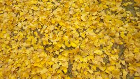Autumn yellow ginkgo leafs. Background Royalty Free Stock Photography