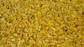 Autumn yellow ginkgo leafs pattern background. Royalty Free Stock Image