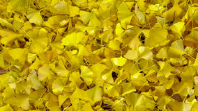 Autumn yellow ginkgo leafs pattern background. Royalty Free Stock Images
