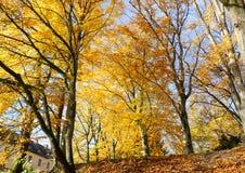 Autumn Yellow Gold Foliage Trees em um parque, com luz solar imagens de stock royalty free