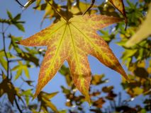 Autumn yellow and gold leaves Liquidambar styraciflua, Amber tree against the blue sky. stock photo