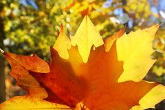 Autumn yellow golden leaf macro Royalty Free Stock Photos