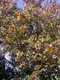 Autumn yellow and green leaves background on tree Stock Photo