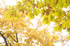 Autumn yellow green leaves Stock Image