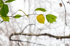 Autumn yellow and green leaves. Autumn foliage in a city park. Some yellow and green leaves Stock Photo