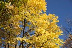 Autumn yellow Katsura tree Stock Photos