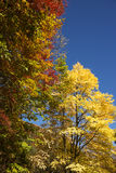Autumn yellow Katsura tree Royalty Free Stock Photo