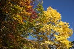 Autumn yellow Katsura tree Stock Images