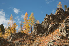 Autumn, yellow larch on a rock. On background blue sky Royalty Free Stock Photography