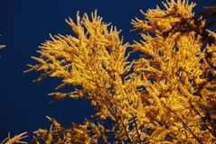 Autumn yellow larch Stock Image