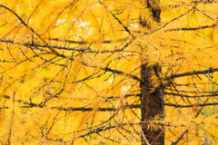 Autumn yellow larch tree Stock Photography