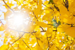 Autumn yellow leaf backlight. Against the sky Royalty Free Stock Images