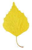 Autumn yellow leaf of birch Stock Photography