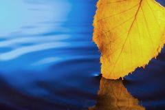 Autumn yellow leaf on a dark blue background.  Stock Photo