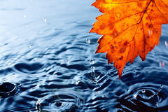 Autumn yellow leaf with drops. In the rain on a dark blue background. Under leaf - a pool Royalty Free Stock Image