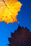 Autumn yellow leaf with drops. In the rain on a dark blue background. Under leaf - a pool Stock Photography
