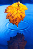 Autumn yellow leaf with drops. In the rain on a dark blue background. Under leaf - a pool Stock Photos