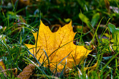 Autumn yellow leaf grass. Autumn background. yellow maple leaf in the grass Stock Photo