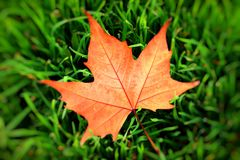 Autumn yellow leaf on a grass, very shallow focus. Royalty Free Stock Image