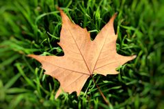 Autumn yellow leaf on a grass, very shallow focus. Stock Images