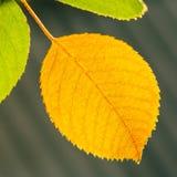 Autumn Yellow Leaf Among Green Foliage Royalty Free Stock Photos