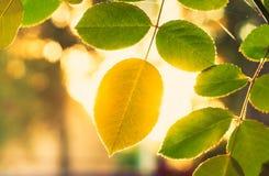 Autumn Yellow Leaf Among Green-Laub Stockfotografie