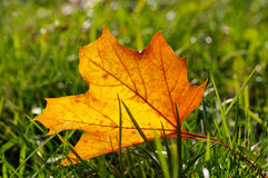 Autumn yellow leaf on a green lawn Stock Photos