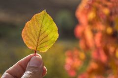 Autumn yellow leaf in hand stock photo