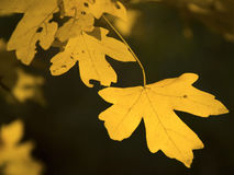 The autumn yellow leaf Royalty Free Stock Photography