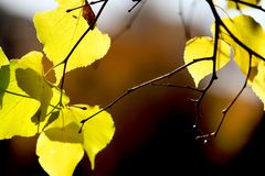 Autumn yellow leaf, thin twig on blurred background. Autumn leaf branch, great design. Natural light stock photo