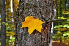 Autumn yellow leaf on a tree royalty free stock photography