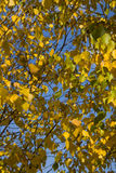 Autumn yellow leafs Stock Image