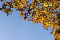 Autumn yellow leafs on blue sky. Autumn green and yellow leafs on blue sky Royalty Free Stock Image