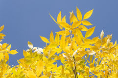 Autumn. Yellow leafs on a sunny day Royalty Free Stock Photography