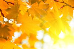 Autumn, yellow leaves Royalty Free Stock Photos