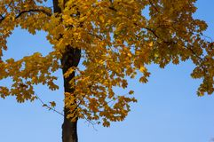 Autumn Yellow Leaves Fotografia Stock