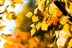 Autumn yellow leaves. Shallow focus Stock Image