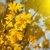 Autumn yellow leaves Royalty Free Stock Image