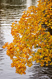 Autumn Yellow Leaves photo stock