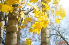 Autumn Yellow Leaves Stockbilder