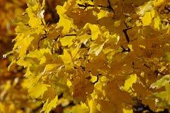 Autumn Yellow Leaves Stockbild