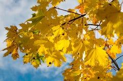 Autumn Yellow Leaves Fotografia de Stock