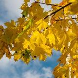 Autumn Yellow Leaves Fotos de Stock Royalty Free