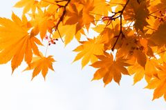 Autumn, yellow leaves Stock Images