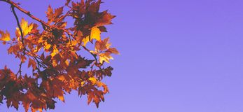Autumn yellow leaves against blue sky; autumn background with co stock photography