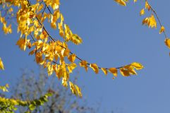 Autumn yellow leaves against the blue sky Stock Image