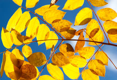 Autumn yellow leaves against  sky. Autumn yellow leaves against the sky Royalty Free Stock Image