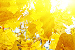 Autumn yellow leaves background Royalty Free Stock Images