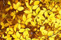Autumn yellow leaves background Stock Images