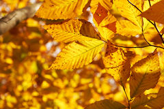 Autumn yellow leaves background Stock Image